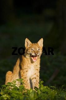 Gaehnender Europaeischer Luchs (Lynx lynx), Bayern, Deutschland, European lynx, yawning
