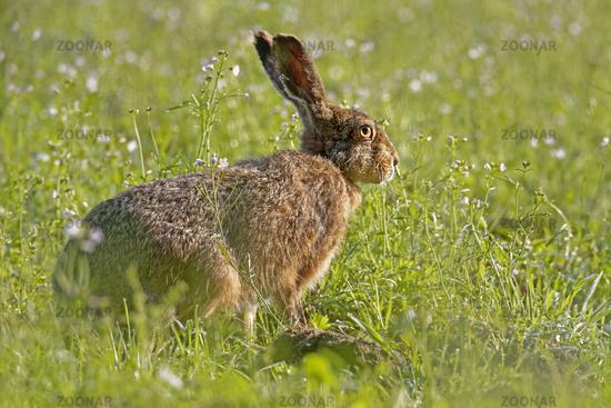 European Hare or Brown Hare (Lepus europaeus),  Schleswig-Holstein, Germany, Europe
