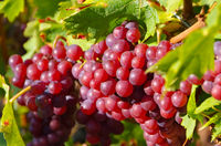Weintraube rot - red grapes in fall