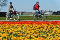 Radfahren fahren vorbei an einem Feld mit blühenden Tulpen in der Blumenzwiebelregion Bollenstreek