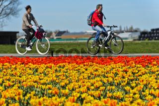 Radfahren fahren vorbei an einem Feld mit blühenden Tulpen, Bollenstreek, Voorhout, Niederlande