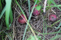Three rotten apples laying on ground 20504