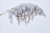 Withered grass on the snow