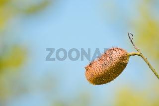 Lipstick tree pod (Bixa Orellana)