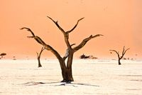 Trees in Deadvlei Namibia