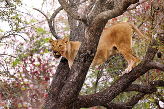Löwin steht hoch oben im Baum, Kruger NP, Südafrika - lioness stands in a tree, Kruger NP, South Africa