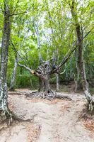 bizarre tree in woods in Haphal Gorge in Crimea