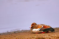 Egyptian goose, Kruger NP, South Africa
