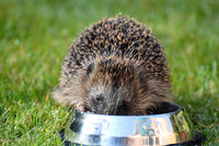 Hedgehog eating from a bowl