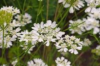 Strahlen-Breitsame, Orlaya grandiflora  - Caucalis grandiflora or Orlaya grandiflora a white wildflower