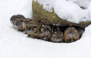 Nutrias im Schnee (Myocastor coypus)