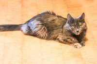 Gray cat on the floor in flat