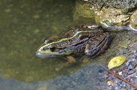 Lake frog