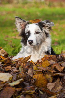 Border Collie im Laub