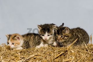 kaetzchen auf Strohballen, kitten on a bale of straw