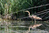 Purple heron is fishing