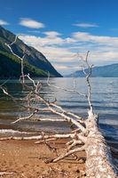 Trunk of a fallen tree on the beech of Lake Teletskoye