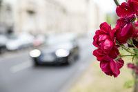 Roses on the roadside