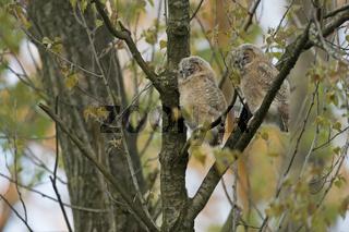 zwei kleine Eulen... Waldkauzästlinge *Strix aluco*schlafend bei der Tagesruh' im Baum
