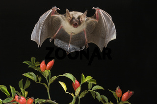 Grosses Mausohr, (Myotis myotis), Greater mouse-eared bat
