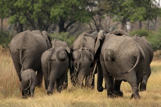 Elefanten (Loxodonta africana); Elephants (Loxodonta africana)