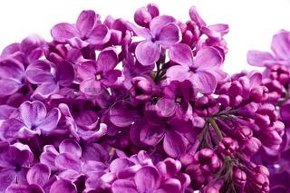 Flieder Blüten wd701
