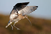 Brachvogel im Flug