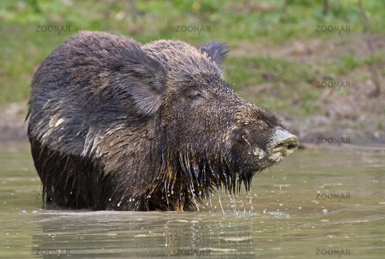 Wild boar in the water (Sus scrofa)