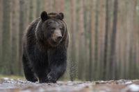 impressive encounter... European Brown Bear *Ursus arctos*