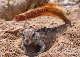 Borstenhörnchen, Erdhörnchen, Namibia, Xerus, african ground squirrel, wildlife