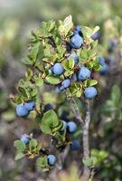 Blueberries (Vaccinum), Ericaceae, Haute-Nendaz, Valais, Switzerland