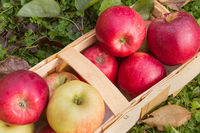 Organic apples in a wooden basket