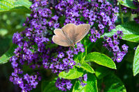 Aphantopus hyperantus, brown ringlet butterfly on a purple flower