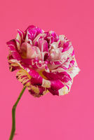 Macro pink and white rose flower
