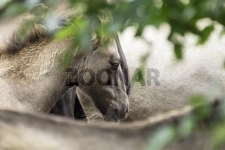 Dösendes Fohlen, wild lebende Pferde im Merfelder Bruch, Dülmen, Nordrhein-Westfalen, Juni,