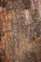 sycamore maple; bark;