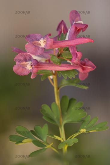 Spring fumewort (Corydalis solida)