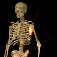 Digital 3D Rendering of a human Skeleton