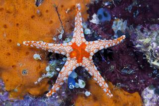 Roter Maschen-Seestern, Indonesien