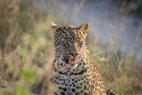 Young Leopard sitting and starring.