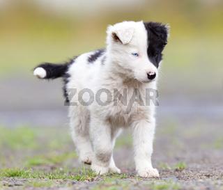 Border Collie puppy on a farm