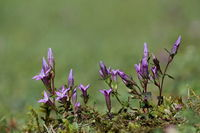German gentian