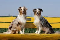 Australian shepherd dogs sitting