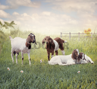 Boer goats mother and babies resting