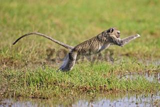 Gruene Meerkatze (Chlorocebus) springt ueber einen Wasserlauf, Moremi National Park, Moremi Wildlife Reserve, Okavango Delta, Botswana, Afrika, vervet monkey is jumping, Africa
