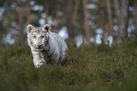 curious... Royal Bengal Tiger *Panthera tigris*