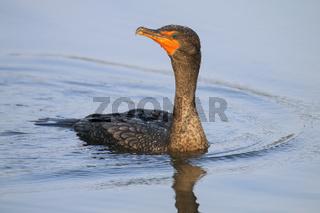 Female Double-crested cormorant swimming