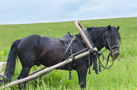 The working horse in harness