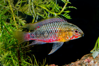 Cichlid fish Apistogramma hongsloi in a aquarium