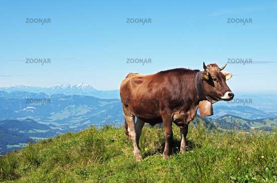 Allgäuer Cow on the Mountains of Nagelfluhkette